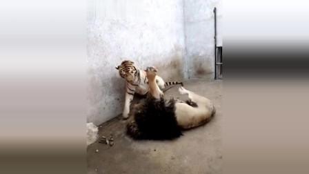 最新老虎与狮子的打斗视频