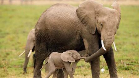 母象分娩时遭猛砸石头 为护小象攻击人群踩死1人