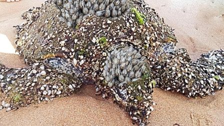 这么一个小小的东西,可以轻松的把海龟整死,连鲸鱼也摆脱不了