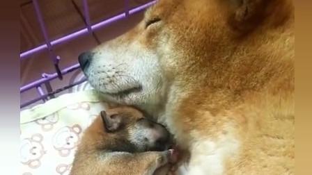 柴犬:估计所有的狗麻麻都一样,再怎么困,只要小奶狗一动弹都会醒