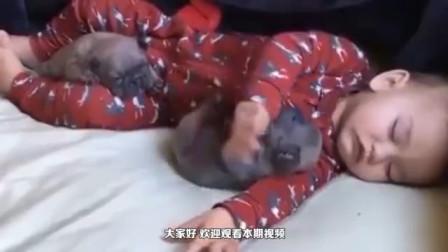 小奶狗睡觉生怕吵到小主人,翻身的动作太体贴了,好暖心!