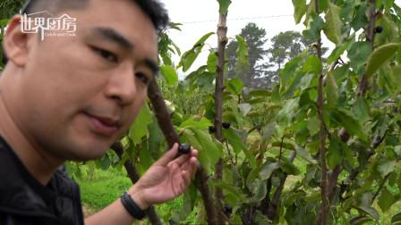 在塔斯马尼亚的果园,我们实现了车厘子自由,吃到拉肚子那种