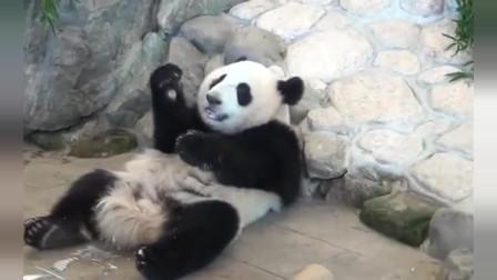 熊貓:大熊貓為了換蘋果吃,向飼養員妥協交出盆盆奶,呆萌模樣太可愛