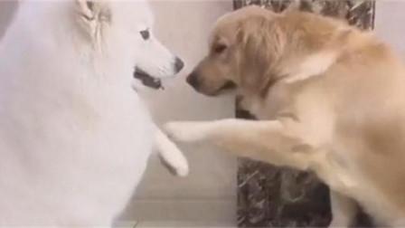 没见过打架这么斯文的狗狗!