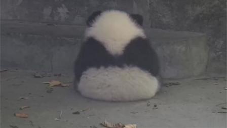 大熊猫宝宝:只需一个迷人的背影,你们就会沦陷!