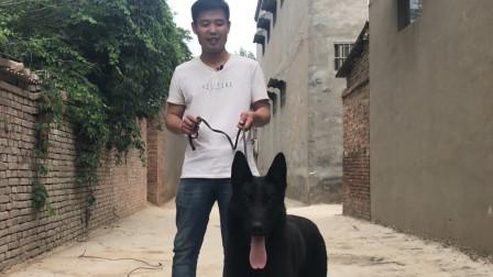 一条纯黑色的东德牧羊犬,后腿有力,是军警界不可缺少的工作犬!