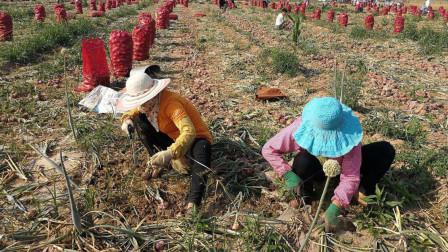 种植大蒜也讲究方法的,你知道怎样让大蒜高产吗?这几点很重要!