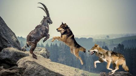 狼群猎杀岩羊,岩羊发现危机在悬崖上逃命,结果意外发生了!