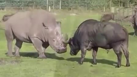 犀牛和水牛一较高下,水牛一个动作伤到了犀牛,下一秒犀牛发飙了