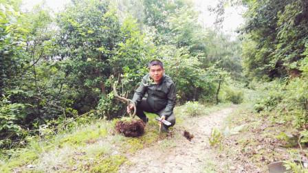 挖映山红树桩做盆景,这个季节能栽活吗?农村小伙挖一棵回去试试