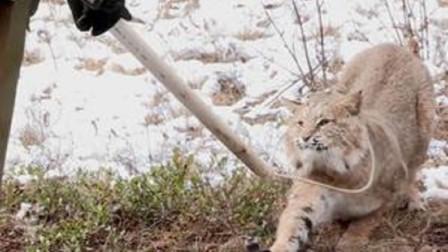 小哥好心救下猞猁,猞猁的举动让人感动,这么有灵性的动物没白救