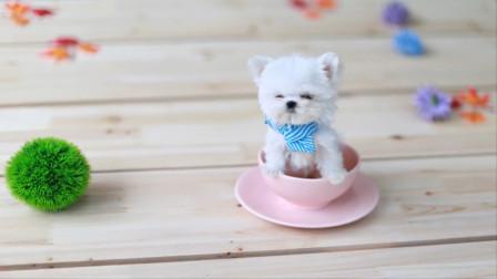 迷你茶杯犬是怎么来的?看完培育过程,你还会养吗?
