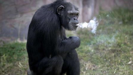"""大猩猩患""""洁癖"""",坚持用毛巾洗脸,染上烟瘾每日抽一包"""
