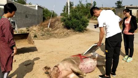 家里的母豬不對勁,四個人合力拉出來,急的媽媽流下了眼淚