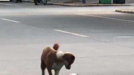 小狗狗到处乱跑,大狗怕它出事。硬拽着它拉回家。太有爱心了