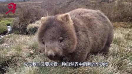 世上最小的熊,能拉出举世无双四方形便便,喜欢臭不要脸粘着人类