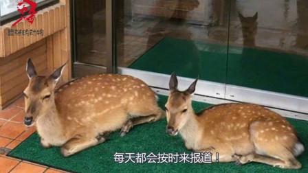 小鹿为感谢老板的恩情,主动为店里招揽生意,同时换取美食