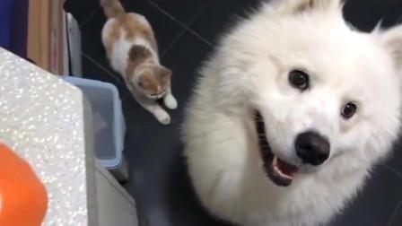 萌宠:肉肉在手,猫狗都有!萨摩:铲屎的你真偏心,它长的那么小,为啥它的肉那么大?