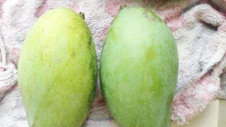 喜欢吃芒果的人,经常遇到芒果没熟,其实芒果催熟也是有方法的