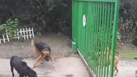 输人不输阵的狗子,隔着铁门吼叫,打开们的瞬间秒怂!
