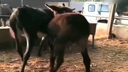 """养殖场里,整天嬉戏玩耍的公驴和母驴,可以少虐其他""""单身""""驴吗?"""