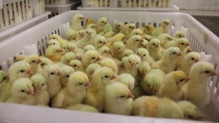 看看孵化器是怎么孵化出小鸡的?看完终于懂了