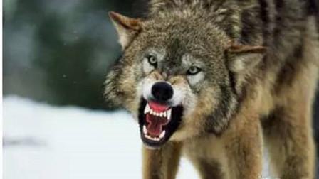 草原上凶猛的狼,他们的天敌会是谁?你们都知道吗?