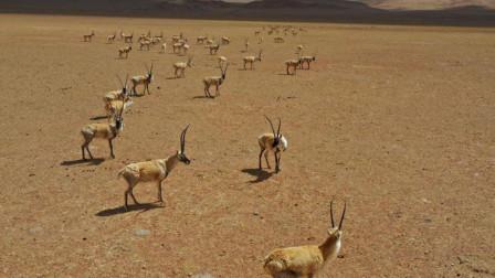 看什么看 阿里地区现藏羚羊迁徙大军