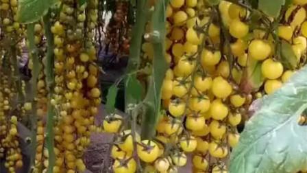 地里种的黄色圣女果,就快要成熟了,你喜欢吃吗