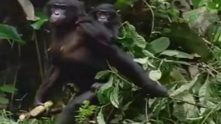 妈宝男?研究表明:猩猩妈连儿子约会都会把风放哨