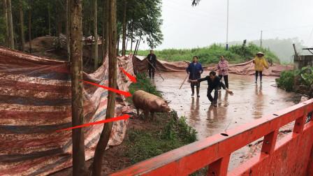 贵州农村,5个人围着一头300斤重的猪要干啥?太凶猛了