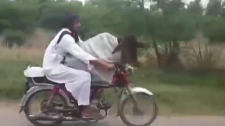 牛操作!小伙骑摩托车狂奔 两腿间竟坐着一头牛
