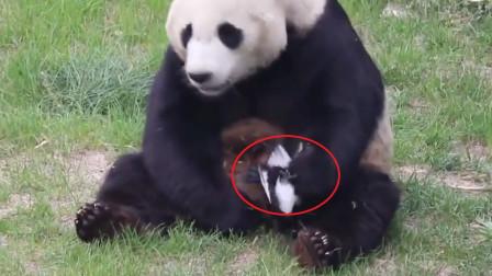 """一只鳥不幸被大熊貓""""玩壞""""了,接下來熊貓的做法,忍住千萬別笑"""