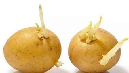 土豆发芽后有毒 大蒜发芽后营养翻倍 到底哪些发芽食物不能吃