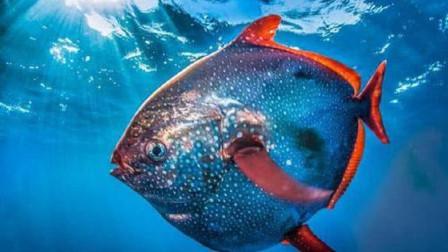 """""""月亮鱼""""为什么被日本人追捧上天?把鱼切开的那一刻,发现太值了"""