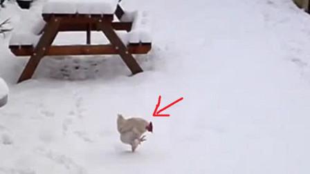 这只鸡第一次在雪地上走,下一秒憋住别笑,镜头拍下全过程
