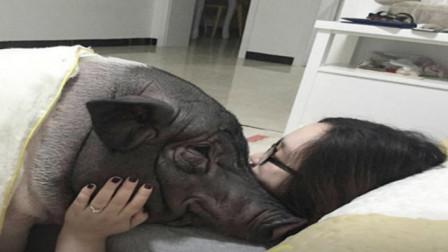 北京一女子火了!把公猪当男友相处,天天一起吃一起睡!