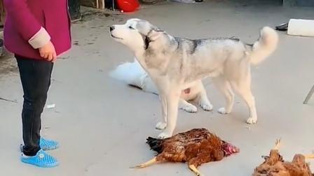 二哈一來就咬死兩只雞,氣得姥姥劈頭蓋臉一頓罵,二哈反應絕啦