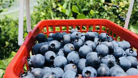 章镇河浮蓝莓熟了