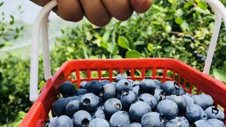章镇河浮的蓝莓熟了