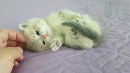 萌宠:真实的小奶猫与虚假的小奶猫,这对比也太明显了