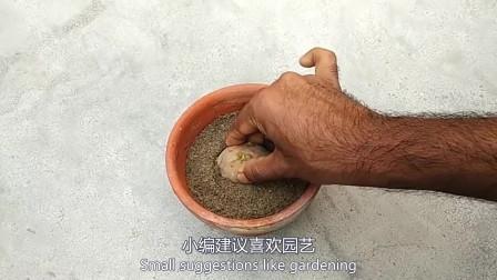 """这3种蔬菜切块埋在土里,一周发芽,样貌比""""多肉""""还耐看!"""