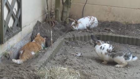 橘猫霸占兔子的窝,2只可爱的兔子急的团团转,场面十分滑稽
