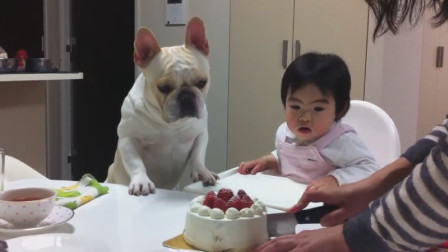 狗子看见了蛋糕,连平时最喜欢的小主人也不理了,这就是吃货的本质啊!