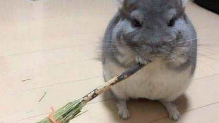 无聊给龙猫做了个扫帚零食,转身出去倒杯开水,回来一看萌翻了