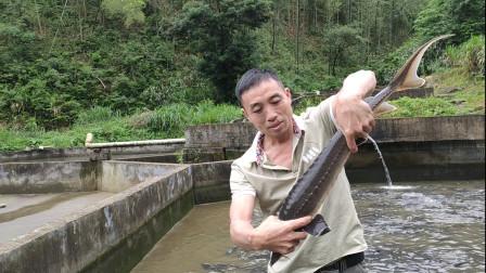 农村大哥深山养殖中华鲟,喝山上的山泉水长大,年收入几十万