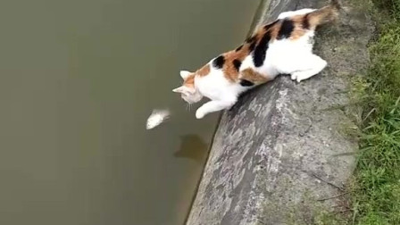 猫抓了条鱼很得意,须不知是条死鱼。