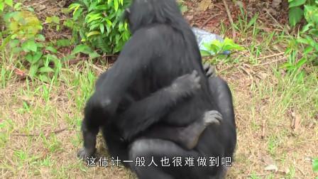自从动物园来了只母猩猩,公猩猩就没消停过,饲养员:适可而止吧!