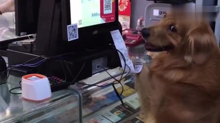 网红金毛轮胎帮爸爸,去商店买香烟,好聪明的一只汪星人