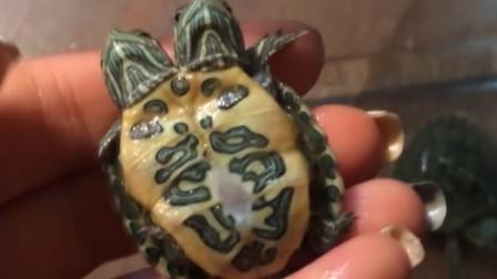 """大妈意外捡到""""双头神龟"""",养17年不舍得吃,儿子回家后瞬间傻眼"""